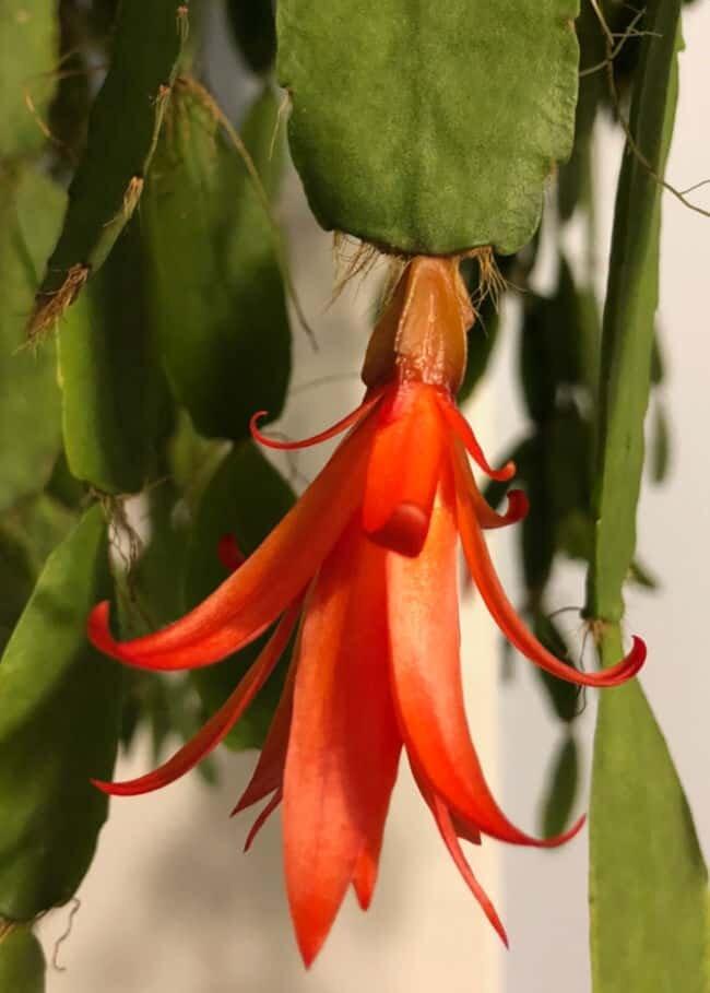 easter cactus flower