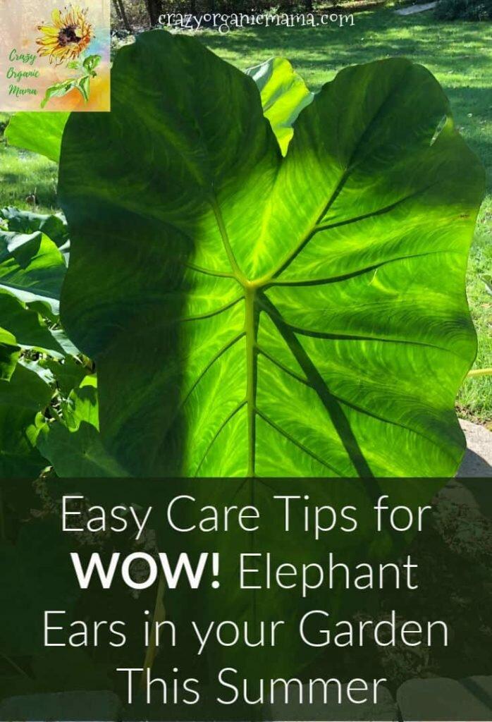 large elephant ear leaf