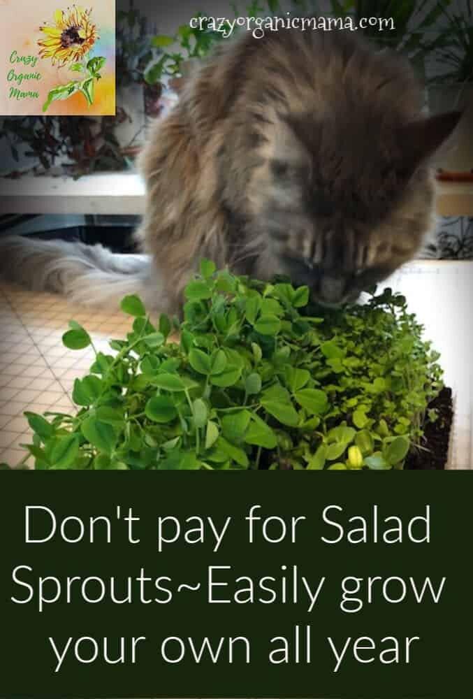 indoor salad sprouts