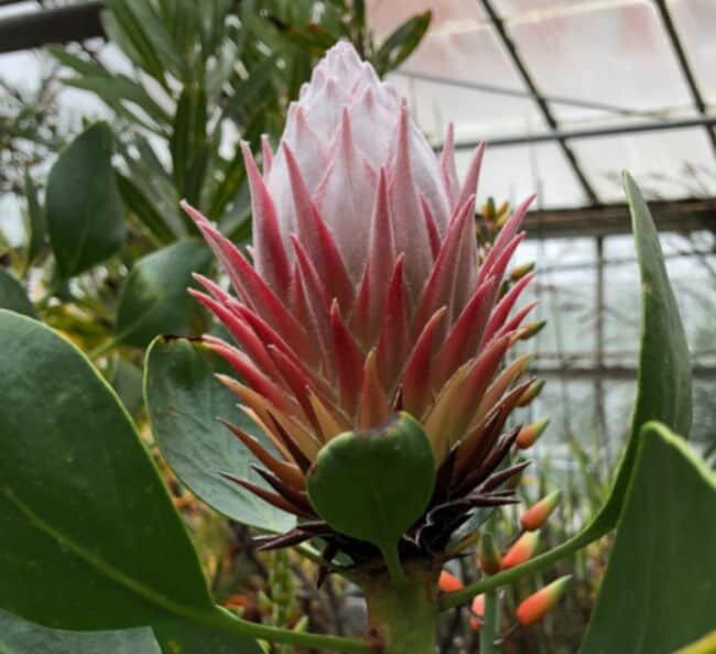 king protea plant
