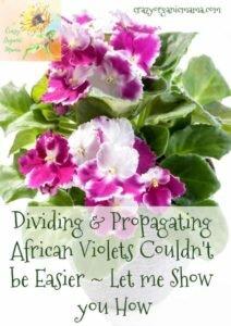 splitting african violets