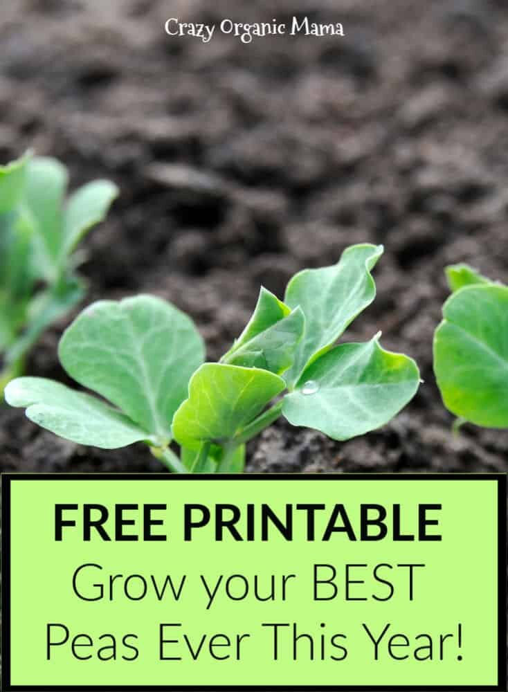 grow successful organic peas