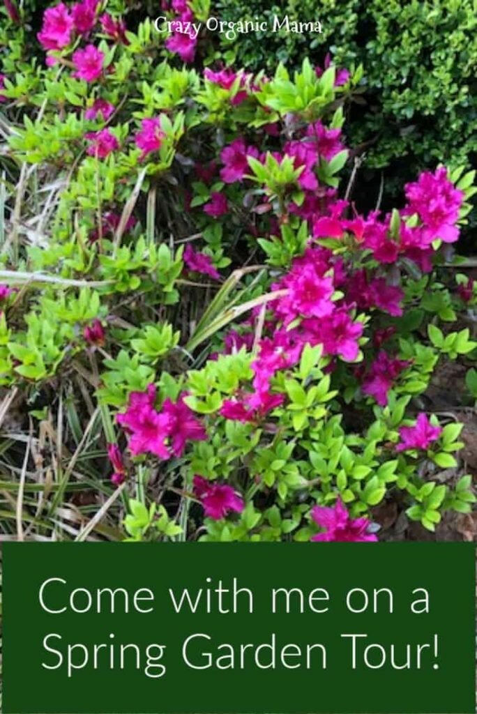 spring azalea blooms