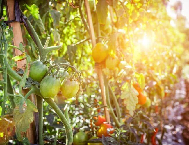 tomato plants in sun