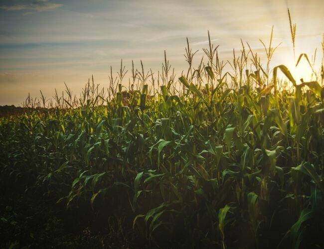 tall corn plants