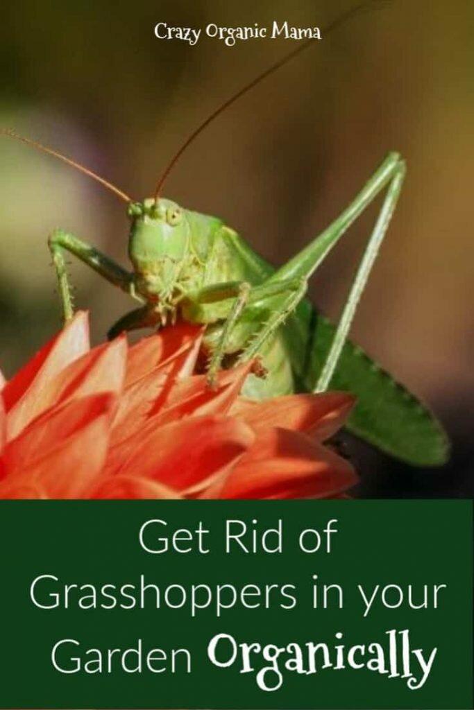grasshopper pin 1