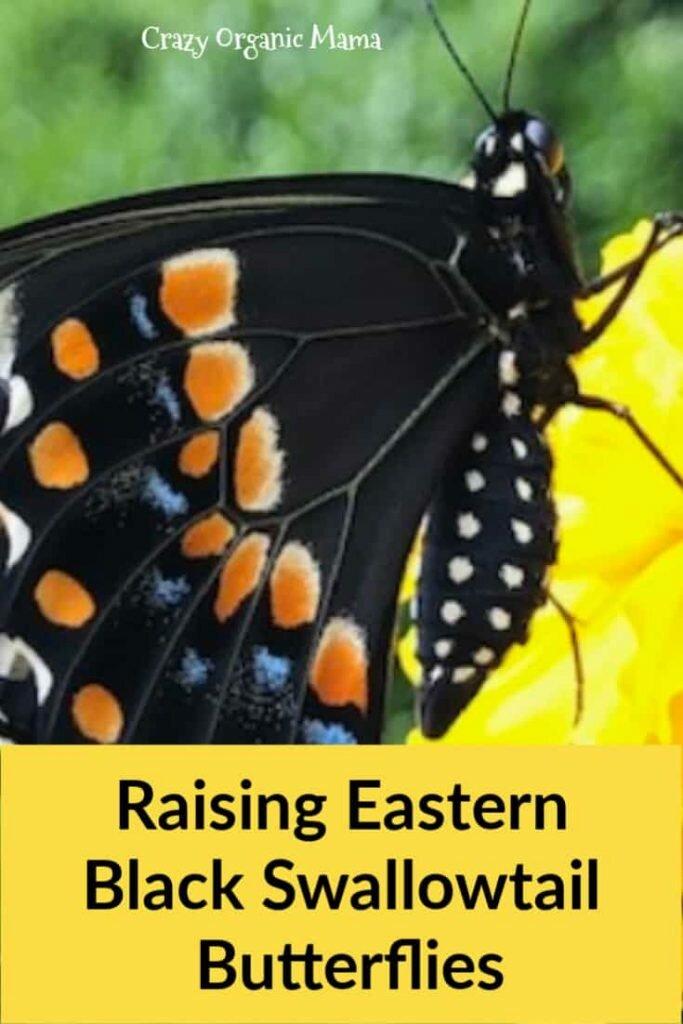 raising swallowtails pin 1