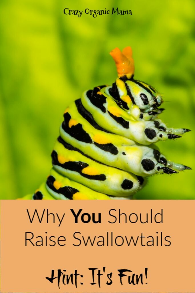 raising swallowtails pin 2