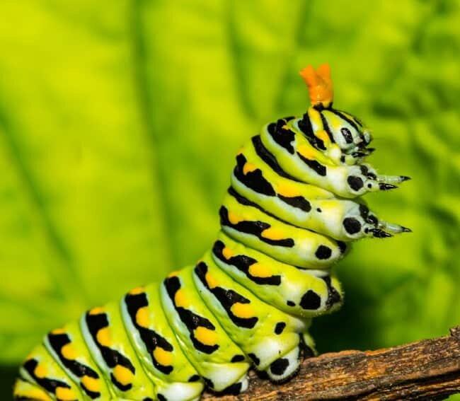 swallowtail osmeterium