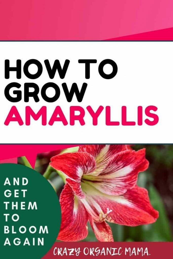 amaryllis pin 1