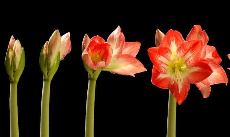 amaryllis opening