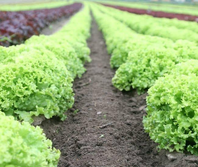 lettuce crop plants